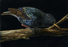 Sue Kroll, Starling, scratchboard, available Scratchboard Art, Gallery Website, Starling, All Art, Drawings, Artist, Prints, Animals, Painting