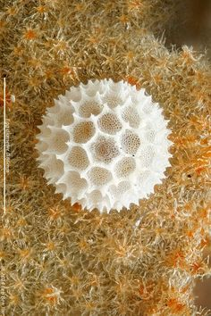 White Royal butterfly egg (Pratapa deva relata). See http://www.photomacrography.net/forum/viewtopic.php?t=22944