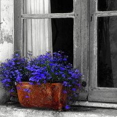 Windowsill Lobelia by LaVeta Jude, via Flickr