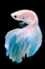 siamese fighting fish, betta fish isolated on black