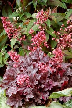 'Milan' Coral Bells Recommended Shade Plant for Sacramento Zone 9