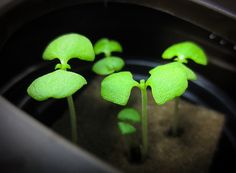 (Day Basil sweet italian started to grow first real leafs. Hydroponics, Garden Projects, Sweet, Plants, Candy, Hydroponic Gardening, Plant, Planets, Aquaponics