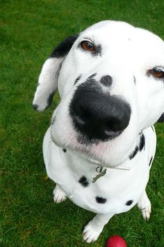 Dalmatian nose.....kiss it. I know you want to.......