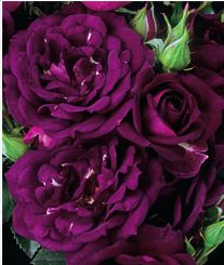 "New for 2014 from Spring Hill Nursery - ""Midnight Blue"" Shrub Rose."