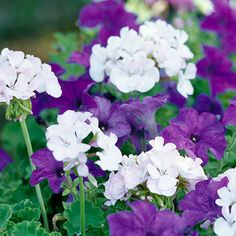 The deep, velvety tones of 'Storm Blue' petunia mix beautifully with the clean white flowers of 'Maverick White' geranium: http://www.bhg.com/gardening/flowers/annuals/annual-plant-pairing-ideas/?socsrc=bhgpin042614classiccolorcombo&page=1