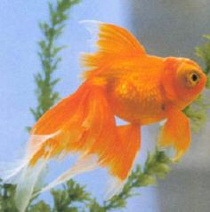 Orange butterfly tail goldfish