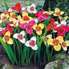 Mixed Tiger Flower  Exotic three-petaled blooms in an array of bright colors add eye-popping appeal to beds, borders and foundation plantings in summer. Attractive speckling in the center of each bloom. Grows to 16 on. tall in full sun. Zones 9-10. 5/7 cm bulbs.