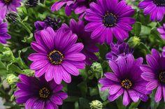 lila Kapkörbchenblüten