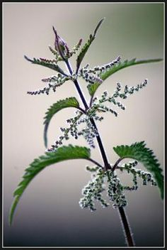 another nettles picture- i like this one more, but I think they would be nice together
