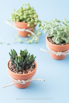 These succulent wedding favors in small terra cotta pots are so easy to make and are sure to be a hit! Plus you can order everything you need in one place