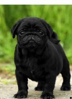 ^^Want to know more about black pugs for sale near me. Click the link for more**… ^^Want to know more about black pugs for sale near me. Click the link for more** Viewing the website is worth your time. Cute Pug Puppies, Black Pug Puppies, Cute Dogs, Dogs And Puppies, Terrier Puppies, Bulldog Puppies, Boston Terrier, Doggies, Black Pugs For Sale
