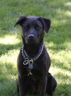 This is what my dog looks like! He is a pit bull lab mix and is the sweetest dog ever!