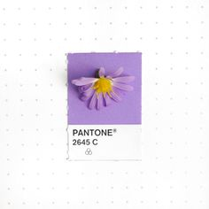Pantone 2645 color match. The fashionably late Fall Aster. These wild flowers were popping up covering my son's school playground .