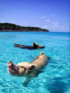 Tania Santafosta - Google+ - ¡Envidia cochina! ¡Estos cerdos tienen su propia Isla…