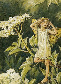 Fée des Sureaux en Fleurs
