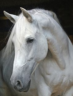 Horse Face Profile | The Windflower Weekly: Tica, My Andalusian Mare Goes For Broke ...
