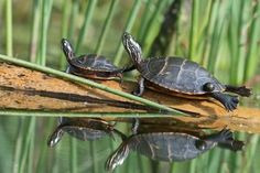 Photo by Nikon shooter @lisasidorsky: Two of many turtles at Marsh Creek State Park. #turtle #wildlife #viewfrommyboard #wildlifephotography #NikonLove #D500 #marshcreek #reptile #reflection via Nikon on Instagram - #photographer #photography #photo #instapic #instagram #photofreak #photolover #nikon #canon #leica #hasselblad #polaroid #shutterbug #camera #dslr #visualarts #inspiration #artistic #creative #creativity
