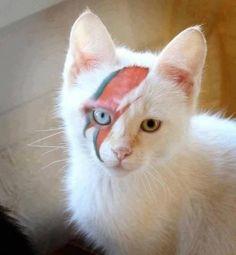 Hello Kitty - David Bowie Cat