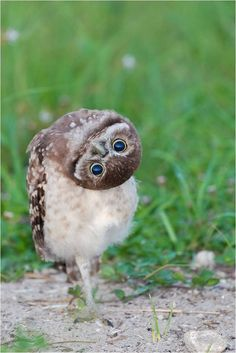 So curious... Tell me what are you looking at in such a way.  //The Burrowing Owl – The Smallest Species of Owl
