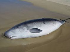 Image result for pygmy sperm whale