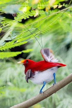 red bird of paradise with blue legs!