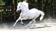 White beauty, wild, horse, hest, movement, galop, animal, beautiful, gorgeous, dust, dusty, photo