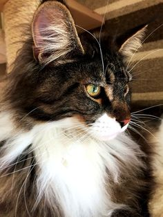 Maine Coon cat, black tabby white http://www.mainecoonguide.com/where-to-find-maine-coon-kittens-for-sale/