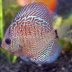 Discus Fish for Sale: Tropical Discus and Freshwater Discus Species