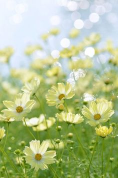 Coreopsis Moonbeam: Another plant that dances in the breeze. Love this pale yellow.