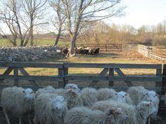 We dworze hodowane są owce. www.it.mragowo.pl