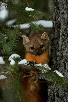 Montana proposes for first pine marten transplant in 50 years