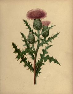 heaveninawildflower:  Pasture Thistle.  Plate from 'Flowers of the Field and Forest' by Isaac Sprague. Published 1882 by S. E. Cassino. Gerstein - University of Torontoarchive.org
