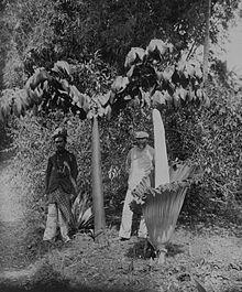 Amorphophallus titanum - Wikipedia, the free encyclopedia