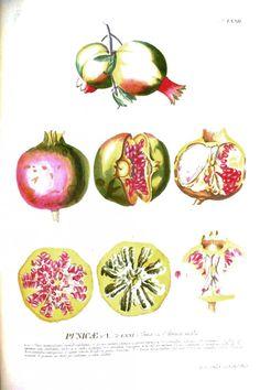 Botanical – Fruit – Educational plate – pomegranate