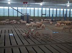 Prácticas de seguridad en la producción porcina intensiva