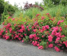 Mixing plant heights helps to add more dimension to your small garden. Shown here is Flower Carpet Pink with ornamental grasses