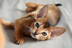 Кошечка  #aby #abysinian #abysiniancat #аби #абиссинская #абиссинскаякошка #кошки #котики
