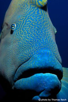 napoleonfish - ras mohammed - egypt
