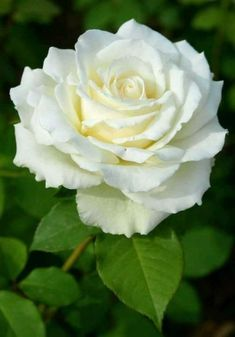 70 Ideas Flowers Beautiful Rose Floral For 2020 Beautiful Rose Flowers, Exotic Flowers, Amazing Flowers, Beautiful Gardens, White Flowers, Beautiful Flowers, Most Popular Flowers, Rosa Rose, Flower Pictures