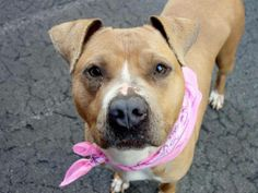 TO BE DESTROYED 04/29/14 Manhattan Center    JUSTICE - A0997421    FEMALE, TAN / WHITE, BOXER MIX, 4 yrs  OWNER SUR - ONHOLDHERE, HOLD FOR ID  Reason PERS PROB   Intake condition NONE Intake Date 04/22/2014, From NY 10466, DueOut Date 04/22/2014, I came in with Group/Litter #K14-174732  Original thread: https://www.facebook.com/photo.php?fbid=792345147445033&set=a.617938651552351.1073741868.152876678058553&type=3&permPage=1