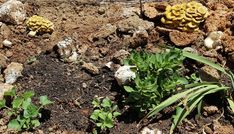 Compost is great for gardens. The mycelium in old mini-farms is a fantastic addition to your compost pile. Grow Your Own Mushrooms, Growing Mushrooms, How To Make Compost, Compost Tea, Grow Bags, Mini Farm, New Beginnings, Farms, Stuffed Mushrooms