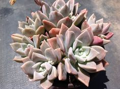 Succulent Plant, ghost plant  More about Graptopetalum paraguayense Graptopetalum paraguayense, native to Mexico, has glaucous blue gray leaves tinged with lavender. Rosettes become rambling to form semi-prostrate groundcovers. White star-shaped flowers with charming reddish speckling. Sometimes occurs as a variegated form or cristate form. Quickly grows to fill up larger areas in rock gardens. Can be used for hanging baskets. Porous soil with adequate drainage. Bright light to full sun…