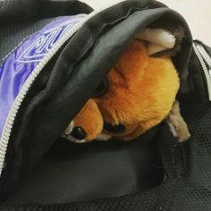 Hace tanto #frío que entran ganas de quedarse dentro de la mochila y no salir... #pelucheando #peluches #peluche #cold #fox #zorro #animales #animals #plush #softtoys #ty #softies #instatoys