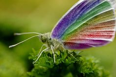 Beautiful butterfly photoshopped into a rainbow butterfly by Rachel Marks. Rainbow Butterfly, Butterfly Kisses, Butterfly Flowers, Butterfly Wings, Butterfly Pictures, Beautiful Bugs, Beautiful Butterflies, Flying Flowers, Bugs And Insects