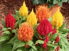 Celosia argentea Plumosa Cockscomb Woolflower Mix) Pink, yellow, red, orange, started indoors to get a jump start on the growing season