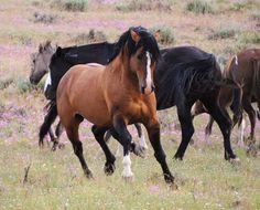 """Honor"" Wild Stallion of the South Steens.   http://ngm.nationalgeographic.com/u/H6yMi6fUB_1JR964xxG8RxsYArlNNn1lR5PWutchIbrajG-6w8J3pJTnNHY8Zqm0YnkgMpOMxmmYNQ/"