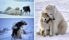 Polar Bears Show Love to Dogs