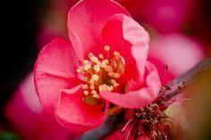Garden Design - How to Plan Your Garden and Make a Garden Project? Chaenomeles, Yellow Apple, Green Fruit, Image Types, Garden Projects, Free Photos, Flower Blossom, Garden Design, Bloom