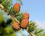 Ovulate cones (strobiles) of larch tree