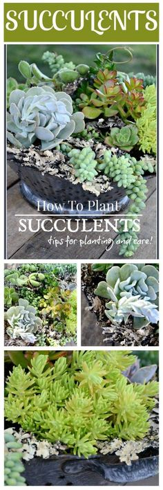 HOW TO PLANT SUCCULENTS-Tips for planting succulents and making beautiful arrangments-stonegableblog.com
